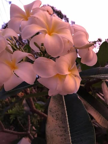 Frangipani Sunset on the Bay