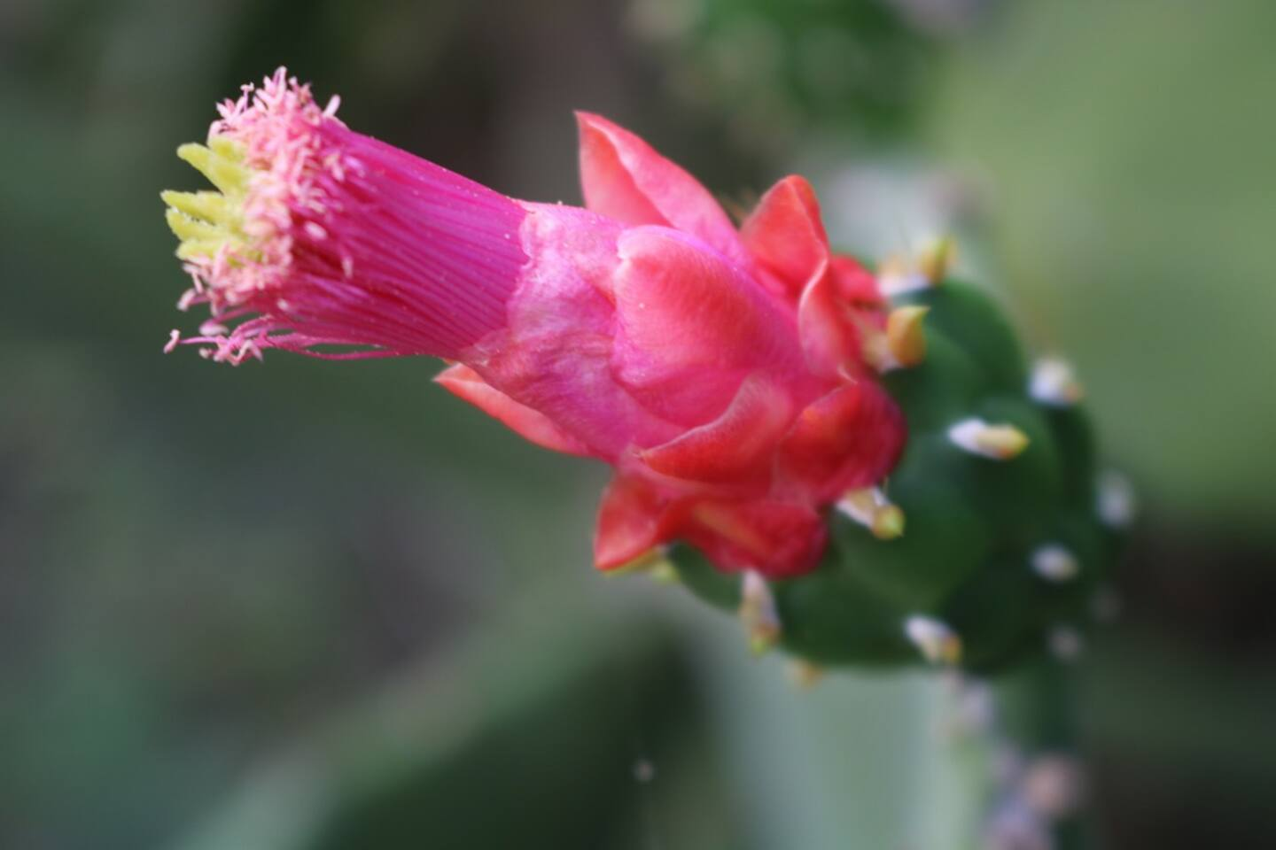 Here is a Prickly Pear flower.  Is there anything that is more beautiful.  Prickly Pear grows in different spots around our property.
