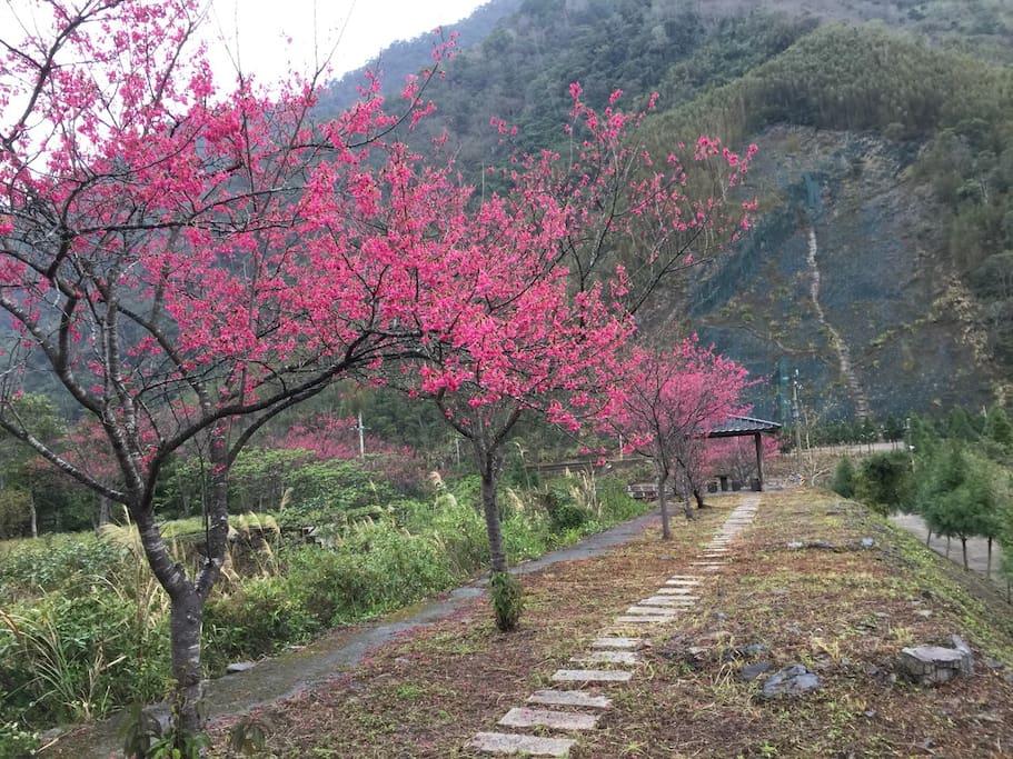 那羅山水-櫻花樹