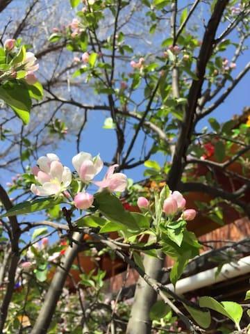 初春时李树花开