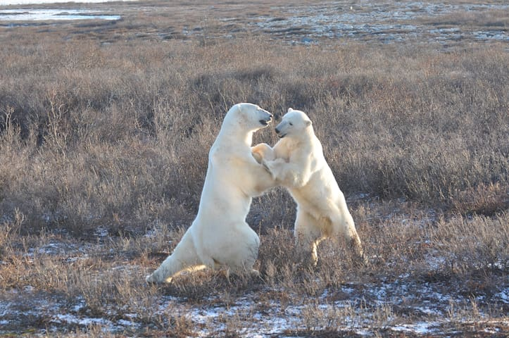 CHURCHILL MANITOBA (Polar Bear Town) Nanuqtours