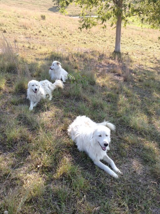 Maremma dogs protect our sheep