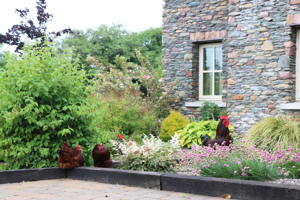 Our free range hens relaxing in the front garden