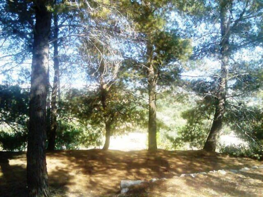 Garden south side: pine forest