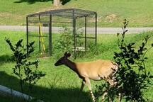 Glimpse deer in the yard, this one by the open-air greenhouse