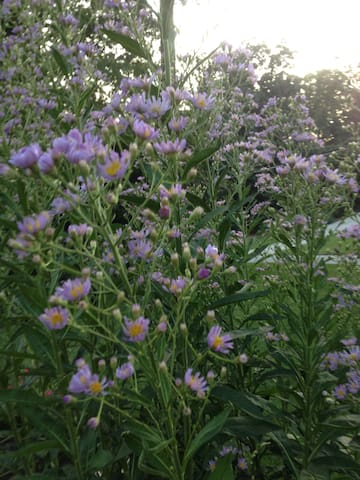 Asters in late summer
