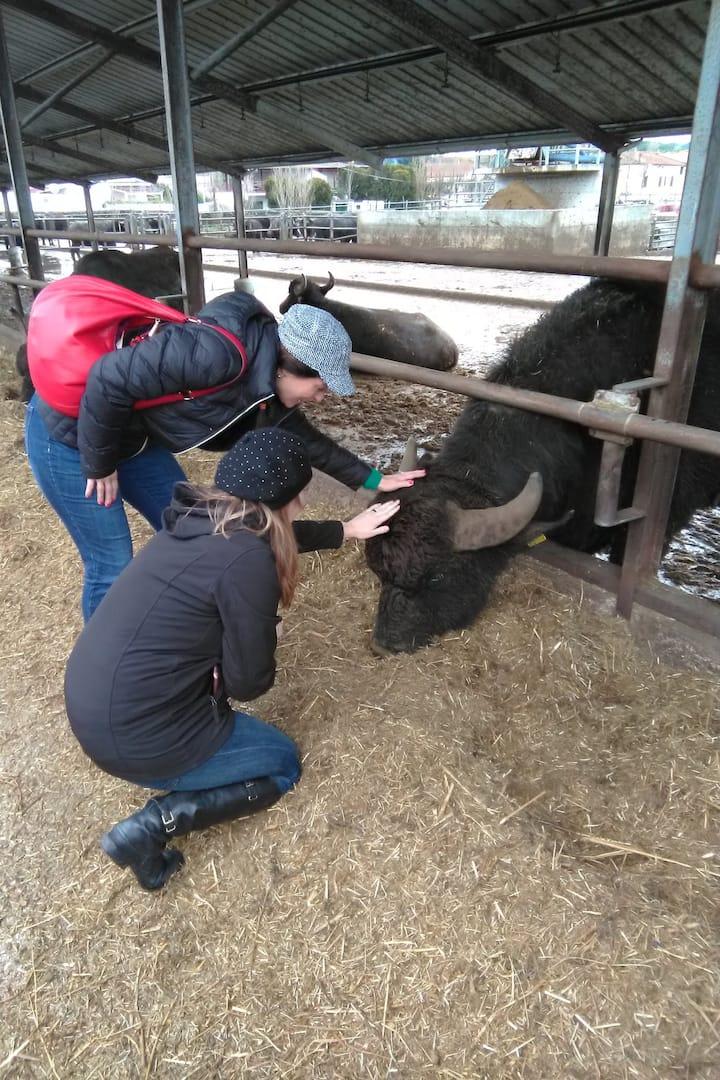 buffaloes farm