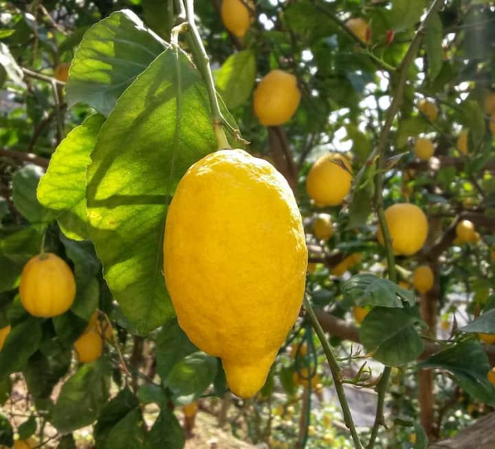 Lemon Garden House