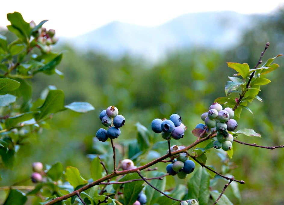 blueberry pickin July