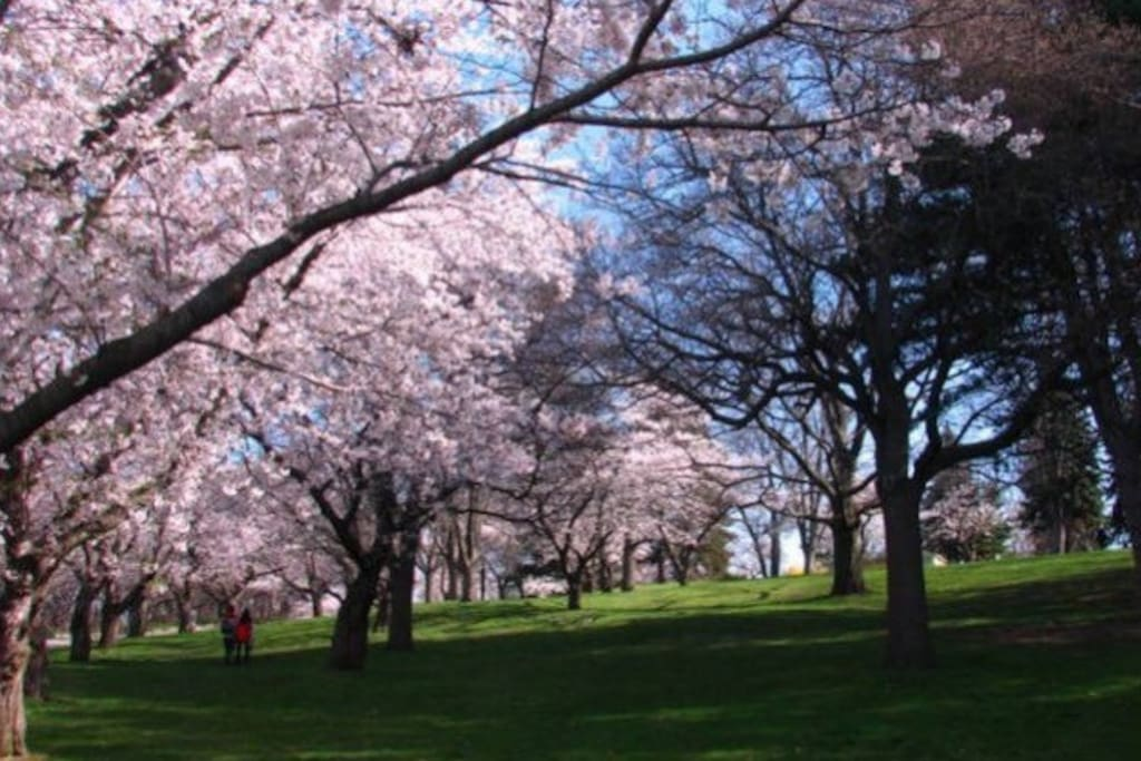 Famous spring-time Japanese Cherry blossoms in High Park.