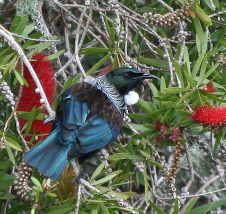 Listen to the distinct song of the Tui & her fellow feathered friends