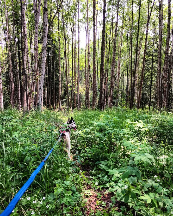 Walk through ferns and birch forest.
