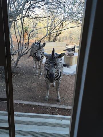Always curious zebras