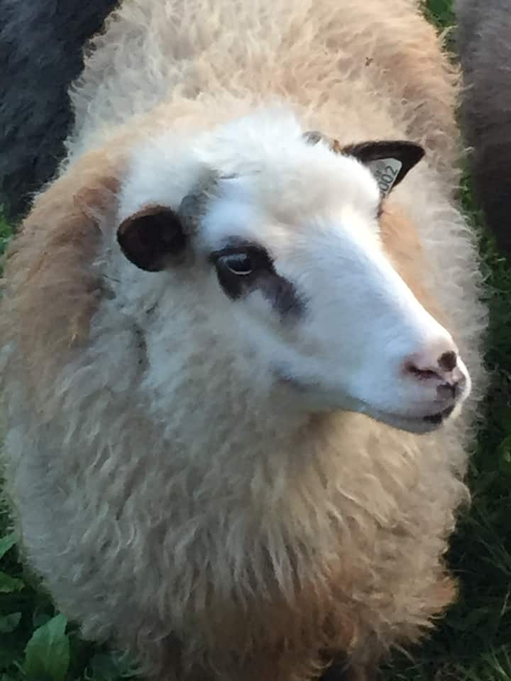 One of our sheep, Butterscotch.