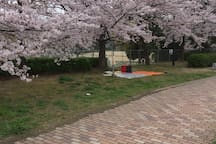 Cherry blossoms are blooming in April in the river bed and it is cherry blossom viewing./歩いて3分の河川敷には4月には桜が咲き乱れお花見されています。