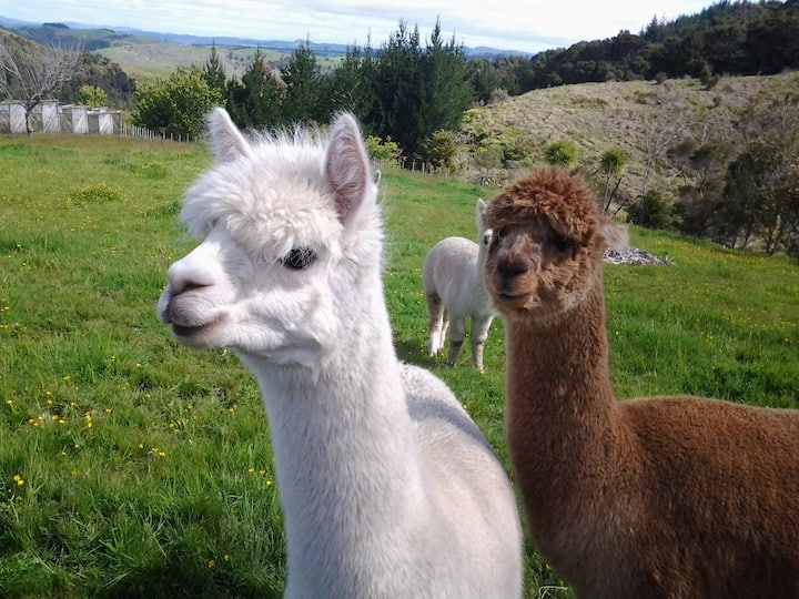 Grant and Sue's Alpacas  BnB only