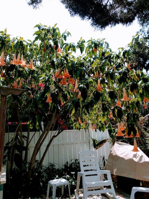 Backyard Angel trumpets!