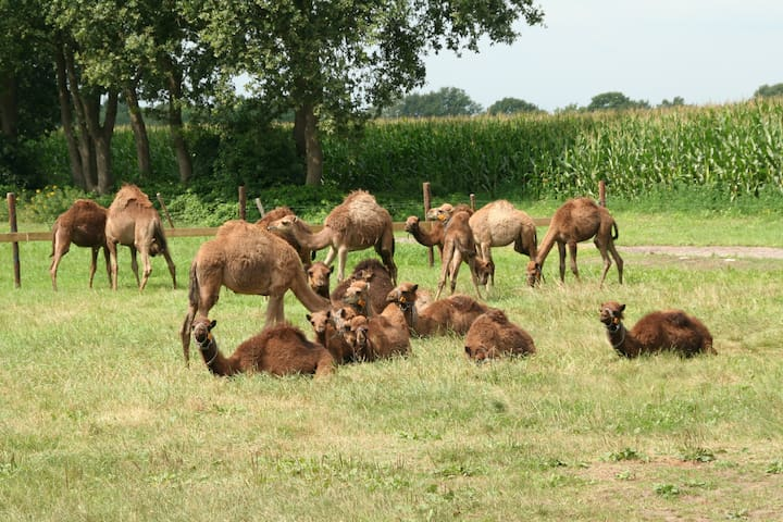 Sleeping at a camel farm! - Berlicum - Bed & Breakfast