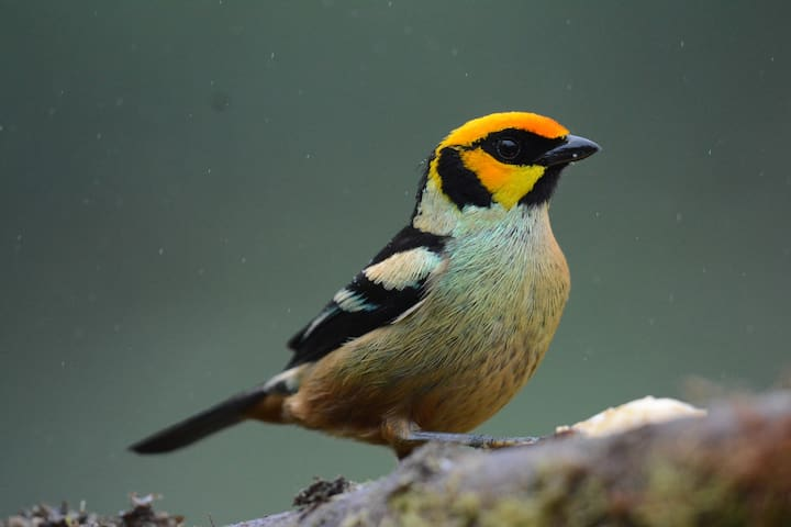 Flame faced tanager at fruit feeder