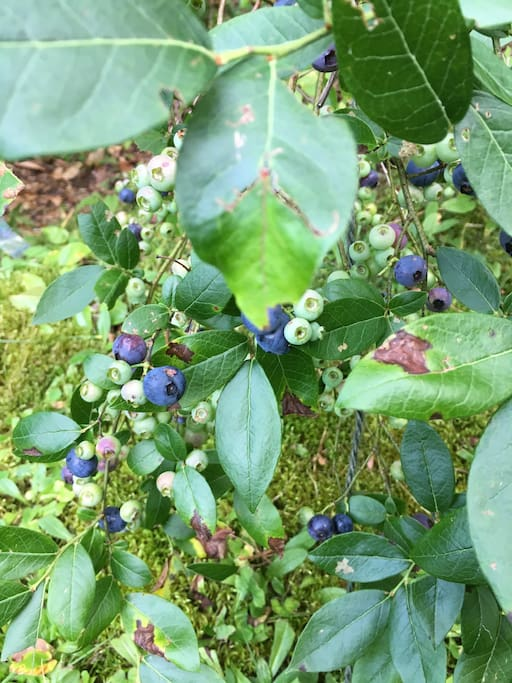 Pick blueberries right outside your door!