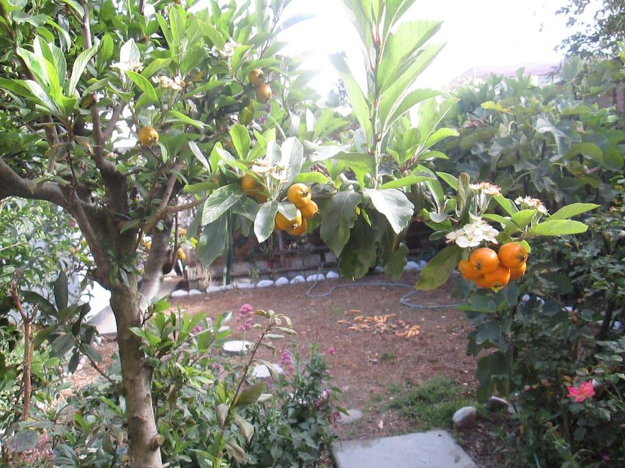 Nisperos serranos, fruto de la zona.