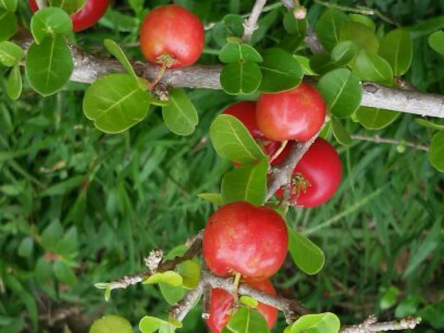 Acerola fruit , in March you can pic them and prepare your own juice, rich on C vitamin