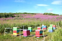 honey bees on the land. Fireweed honey is the best!