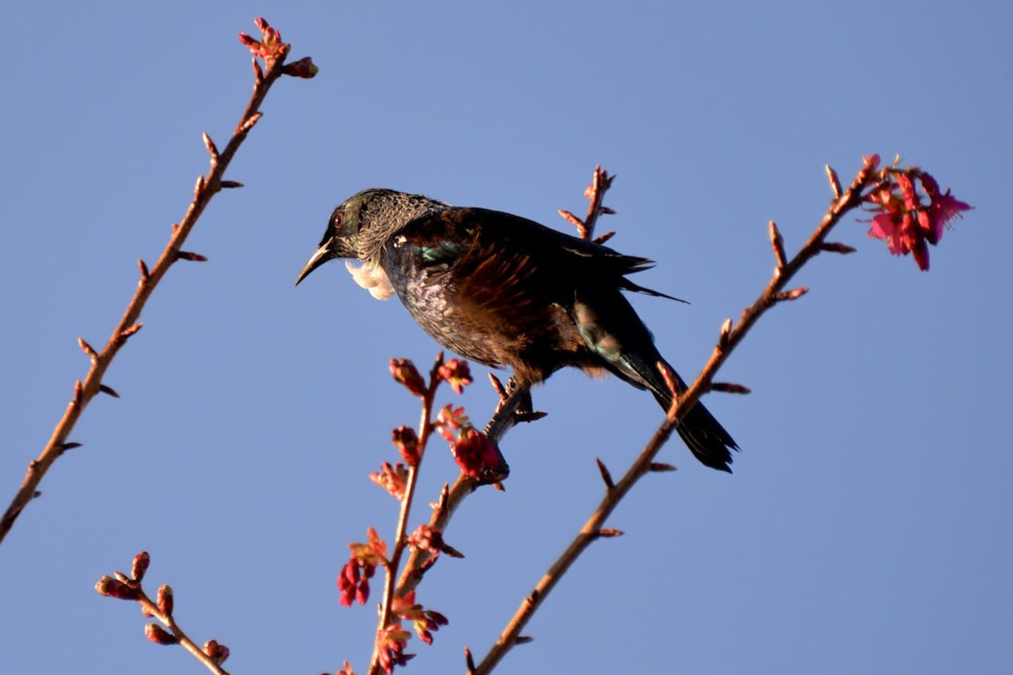 Enjoy the native tuis that are abundant in our private garden areas here and in Tainui reserve. I snapped this tui enjoying nectar in our cherry blossom trees this year. There are a number of other native birds here including Ruru - morepork (native NZ owls).