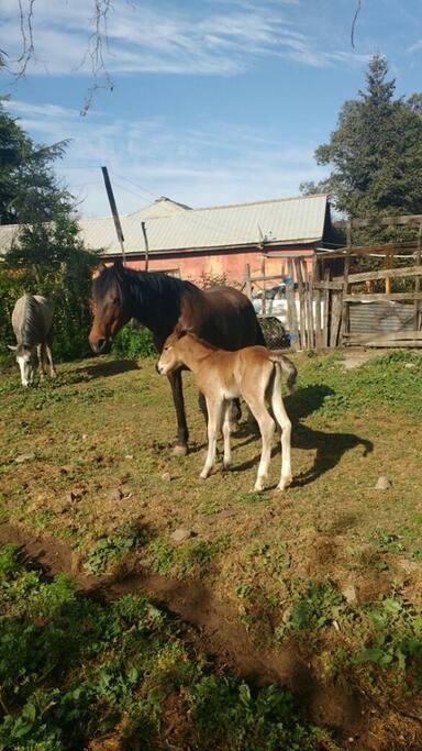 Yegua y potrillo con 4 días de nacido, animales del dueño de la propiedad que habitan allí.