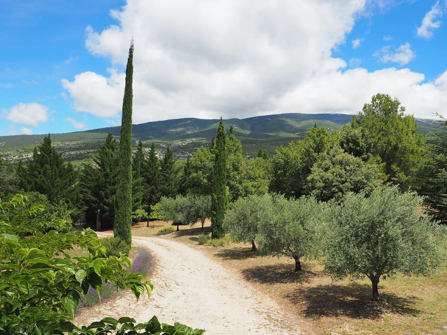 Dans le jardin, le chemin bordé de cyprès et d'oliviers, au pied du Ventoux.