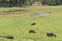 Buffaloes grazing - our balcony view.