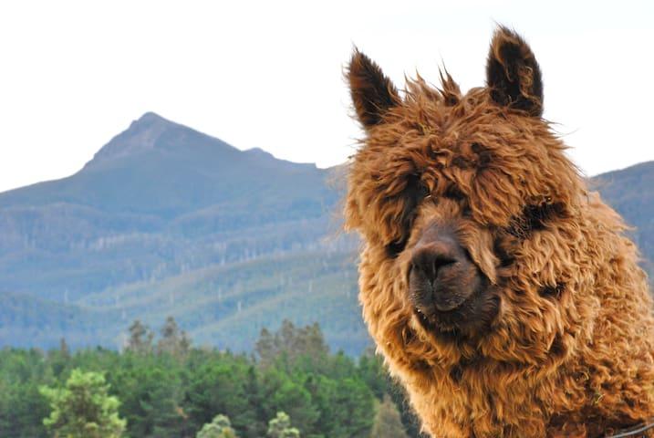 Maydena Mountain View King Cabin & Alpacas