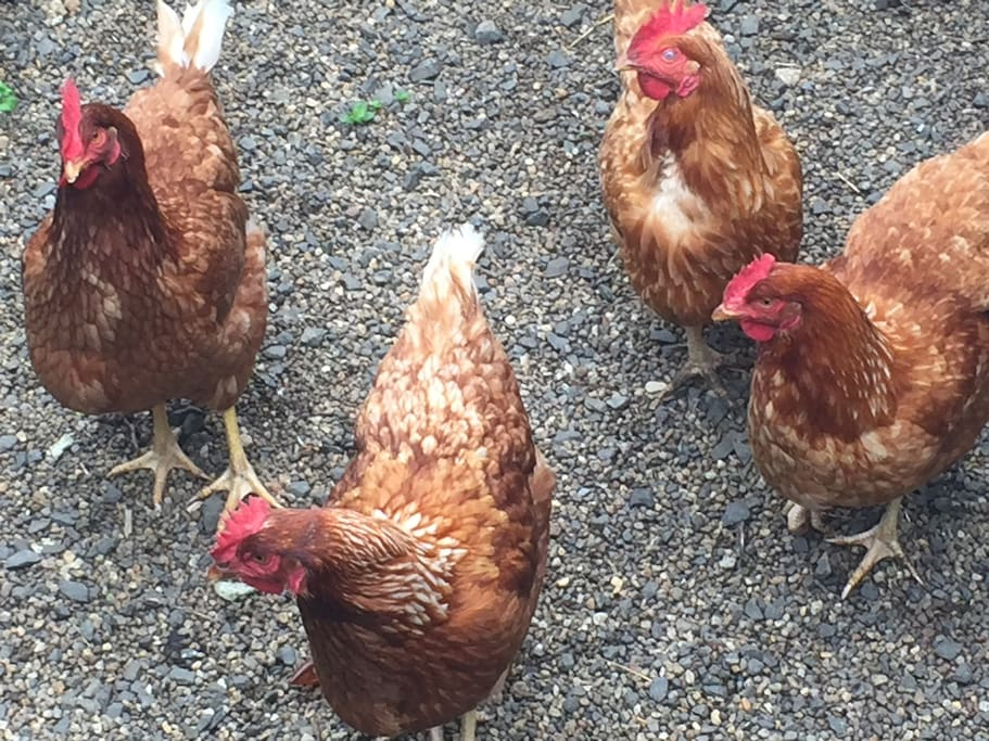 We have free range chickens who keep us supplied with eggs every morning.