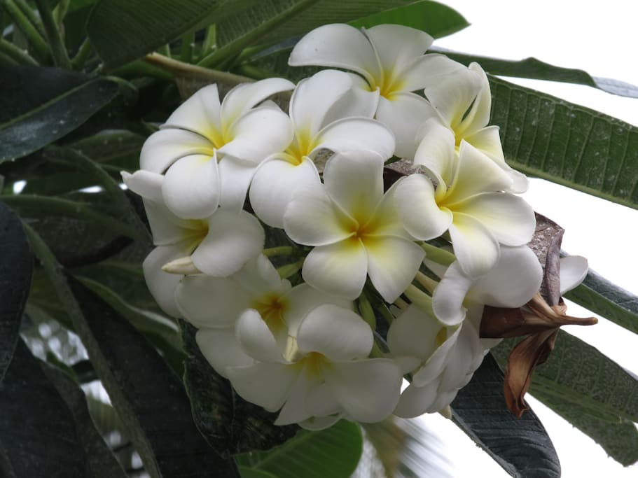 Plumeria  flowers smell beautiful
