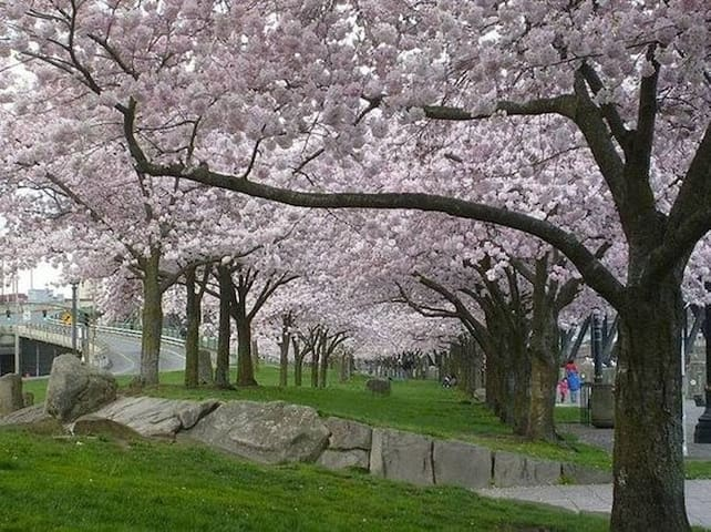 Waterfront cherry trees in bloom.