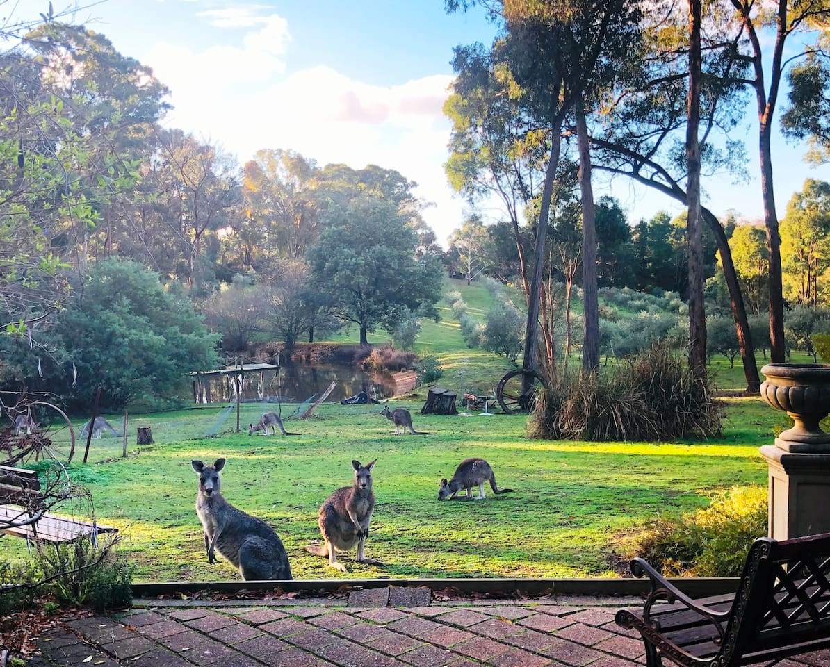 Perfect place to relax with nature tranquil ambiance of Countryside in Autumn. Kangaroos and joeys grazing. View from the Cottage overlooking dam and olive grove