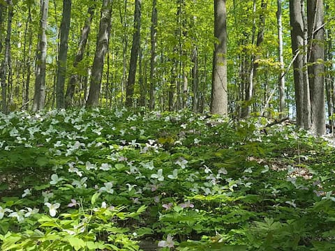 Spring in the surrounding forest with lots of Trillium