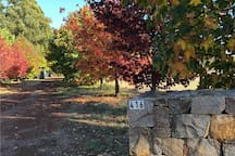 Autumn display of liquid ambers changing colours at the entrance to property.