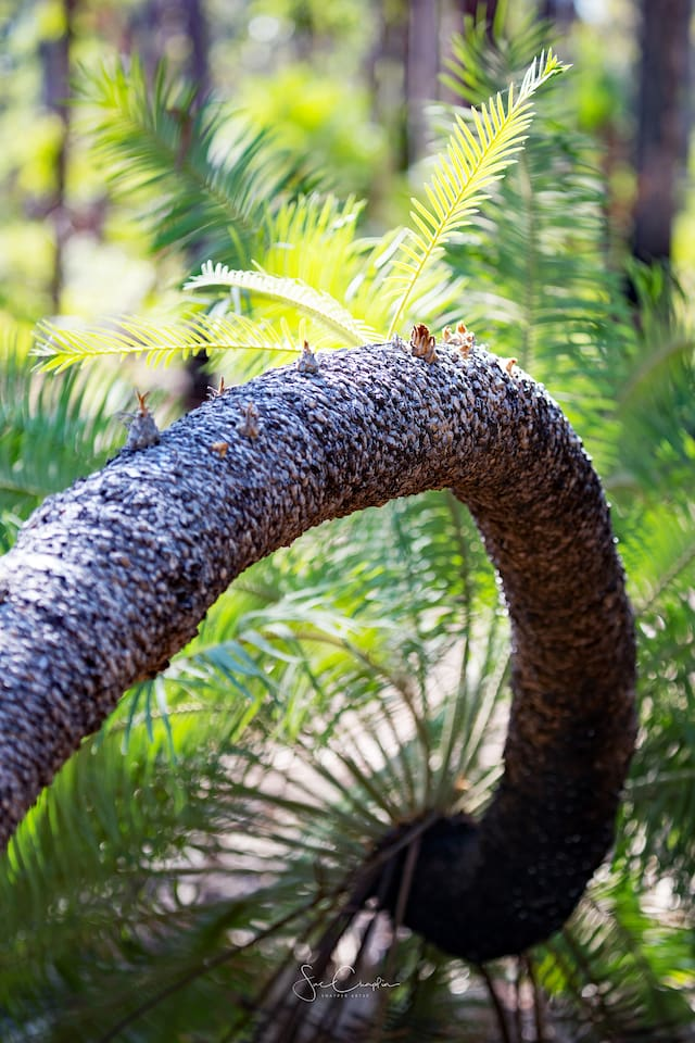 Explore our bush.  Jurassic style cycads are a feature of Cox Peninsula