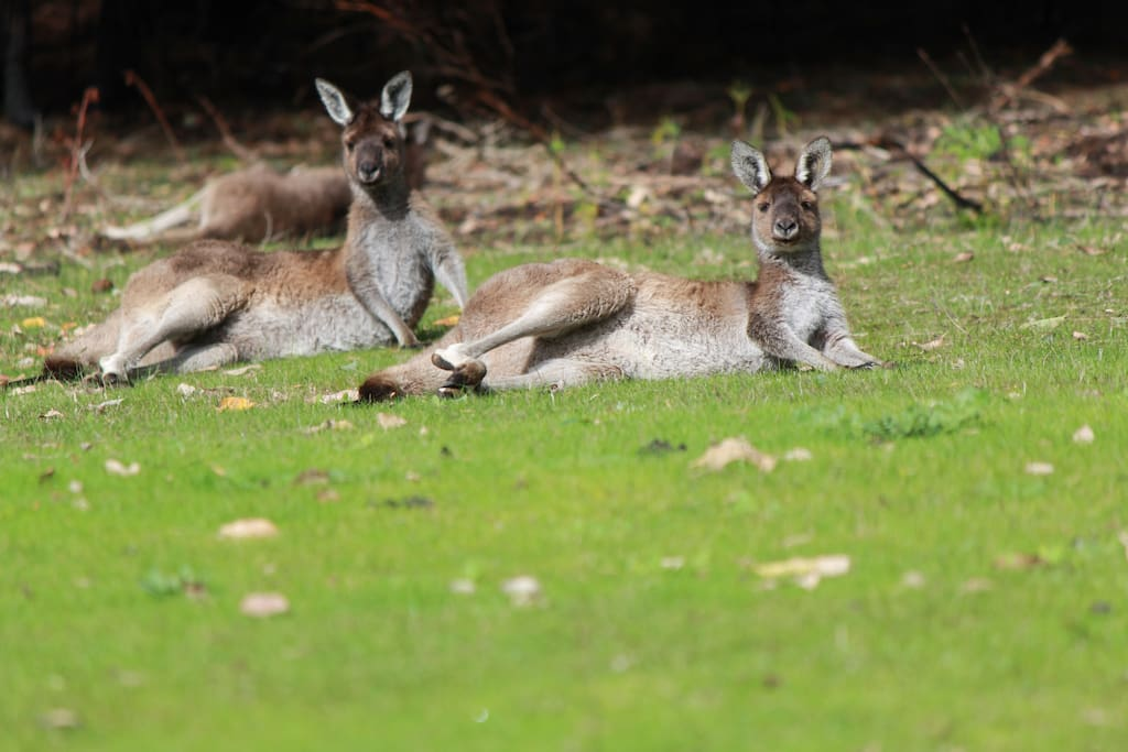 Kangaroos come in a graze and laze daily