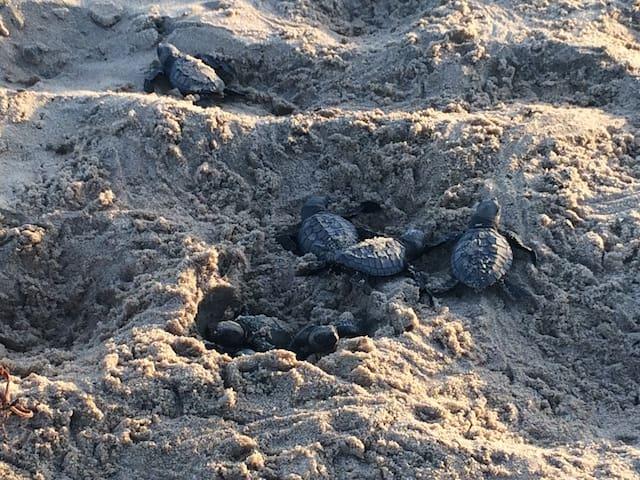 Emergence de tortues olivâtre