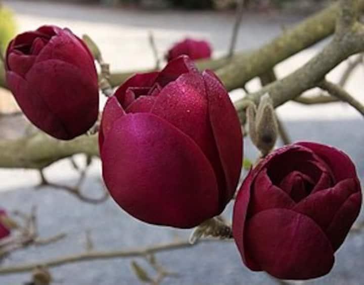 Magnolia House - Tulip