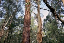 Surrounded by stringy bark trees