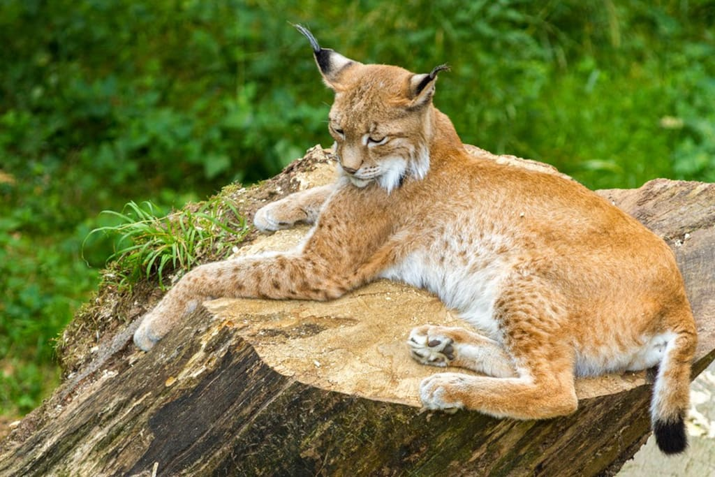 Although very shy, Bobcats are also occasionally seen throughout the Julian area.