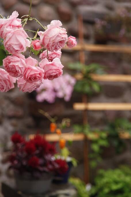 Rosor i trädergården