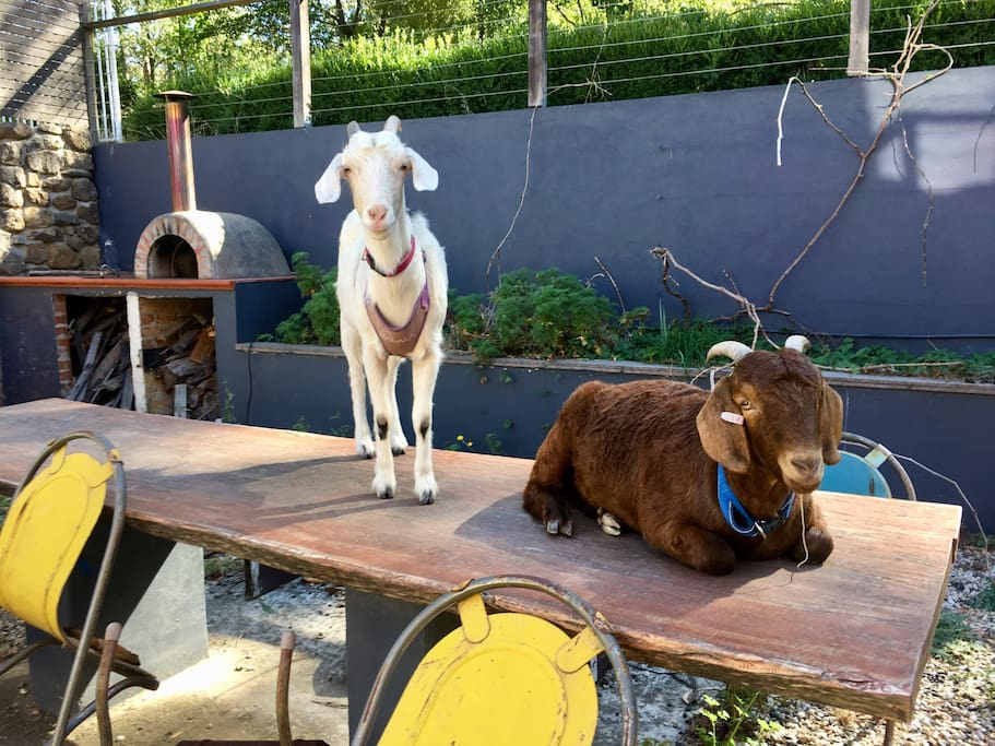 Our goats Malala (left) and Harry. They're very friendly and love meeting people, although Harry can be a little shy at first.