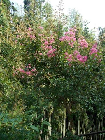 7月が見ごろのサルスベリのピンクです