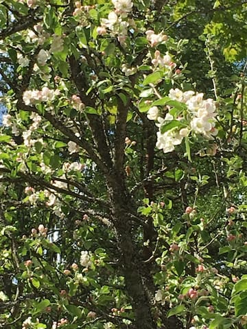 An Apple tree blossoming in the beginning of the summer❣