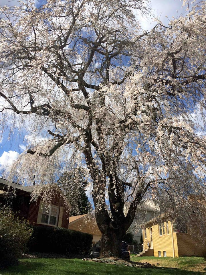 The weeping cherry you will see in the cul de sac, lets you know you have reached Wayside Retreat.When  it blossoms. In Spring, we celebrate Hinami with suschi , beverages and music.