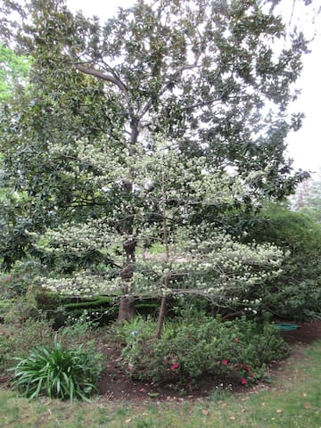 Spring -- Dogwood tree, viewed from the cottage